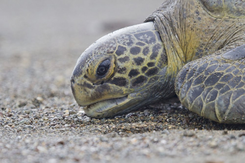 Costa Rica Green Turtle Research - Day By Day Slideshow