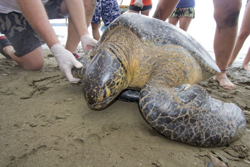 Once caught, bring the turtles to the beach to study and release