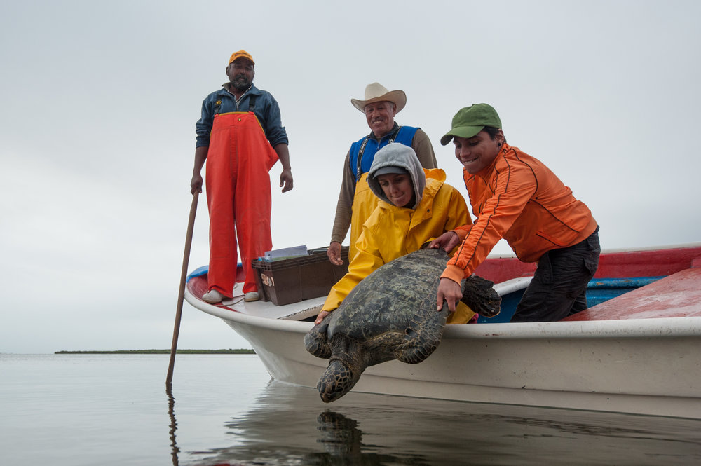 After researchers, with the group's help, measure, weigh, and tag the turtle, it will be released back to the Bay.