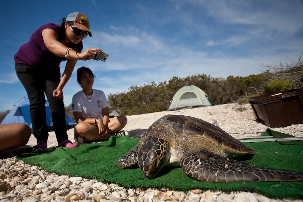 Once a turtle is caught, it is brought to the camp to study.