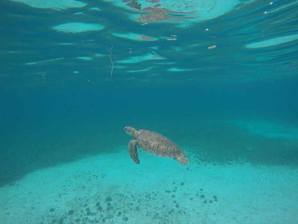 Turtle Research: Snorkel with EcoMar staff to look for turtles. When one is found, the staff will attempt to catch it for study and then release