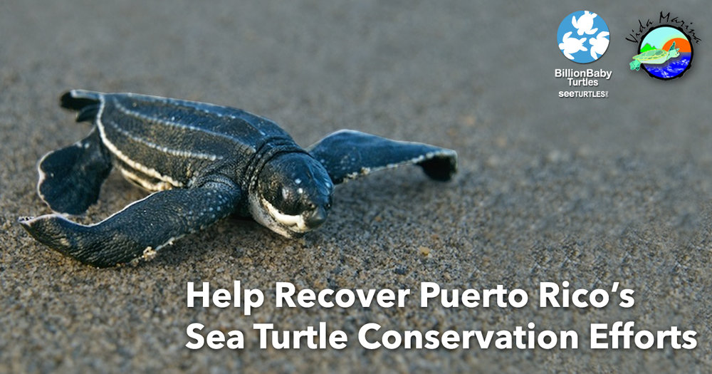 Every donation to restore Puerto Rico's turtle conservation efforts will be matched!