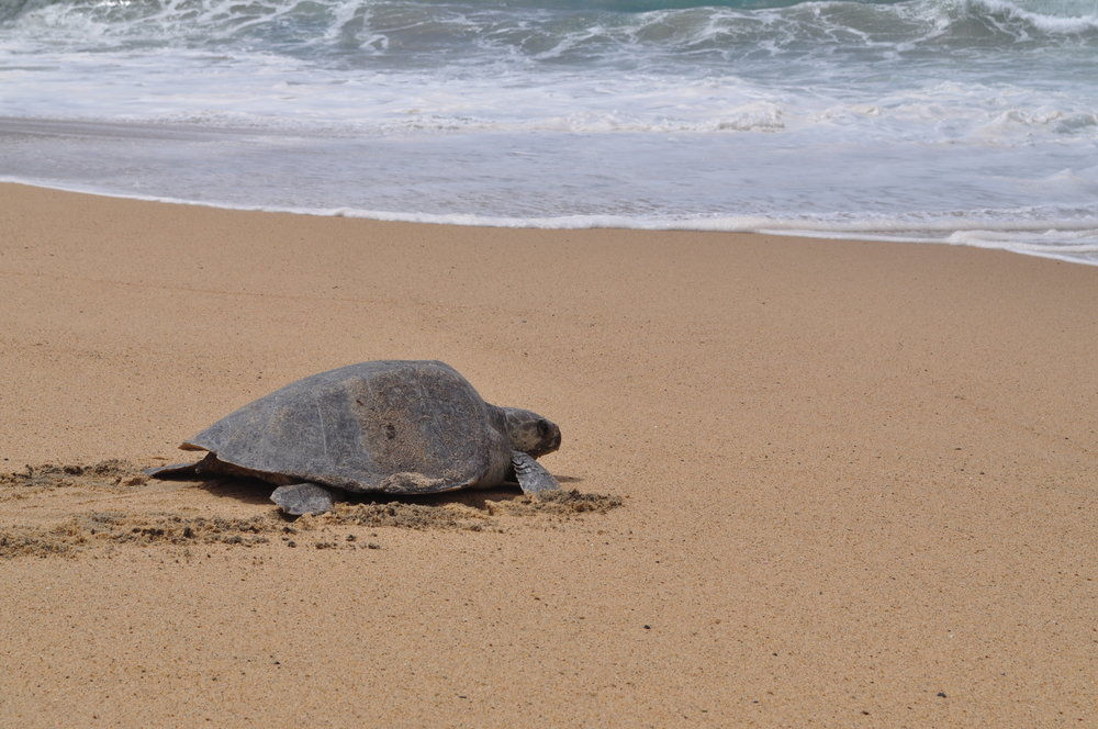 Olive ridley at Ixtapilla