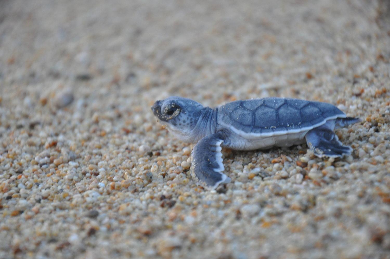 The Return of The Black Turtle — SEE Turtles
