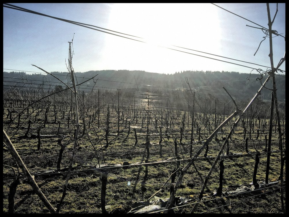The vines have been pruned to two canes per vine. Each cane has around 6 buds on it that will eventually unfurl into a shoot. This picture was taken on one of the precious days of sun this week.