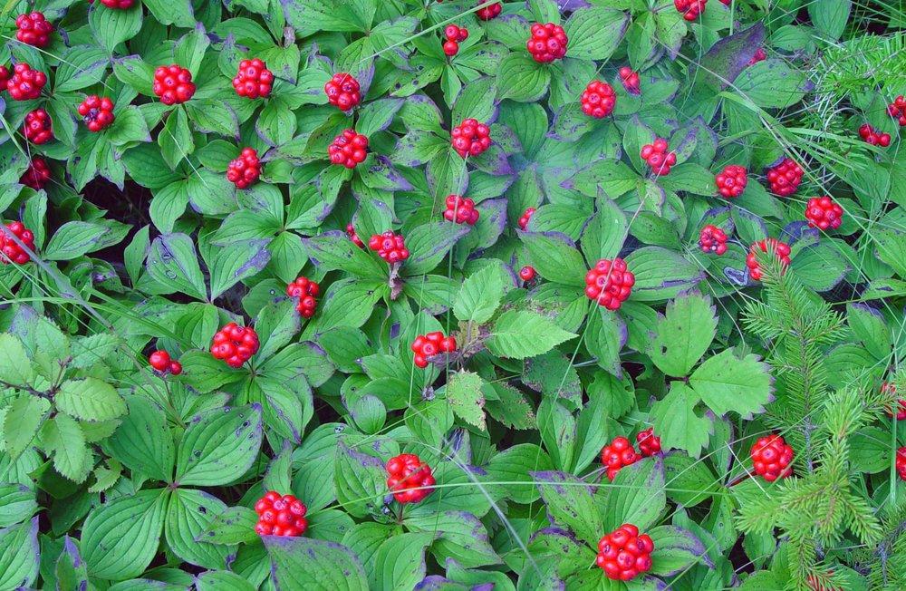 bunchberry.jpg