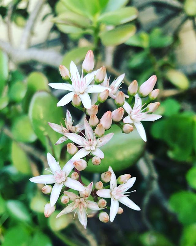 🌵happiness is the small things in life...succulents🌵#flowering #jade #new #bloom #blooming  #peace #naturegirl #naturelovers #succulentgarden #mysucculents #succulent #nature #cactus  #succulentsofinstagram #succulentjunkie #giftofnature #succulents #breathe #zen #greenthumb #succulentgarden #nature #succulentsofinstagram #bridgit #bridgitadelle #blog #ostomyawareness #invisibleillness #sepsissurvivor #sepsis #chronicillness #chronicpain @succulentgram @cacti_creations