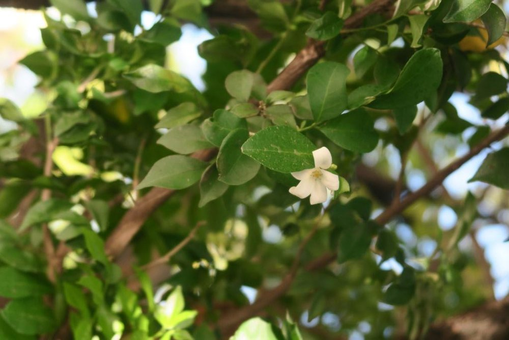 Local Flora Murraya-flower.jpg