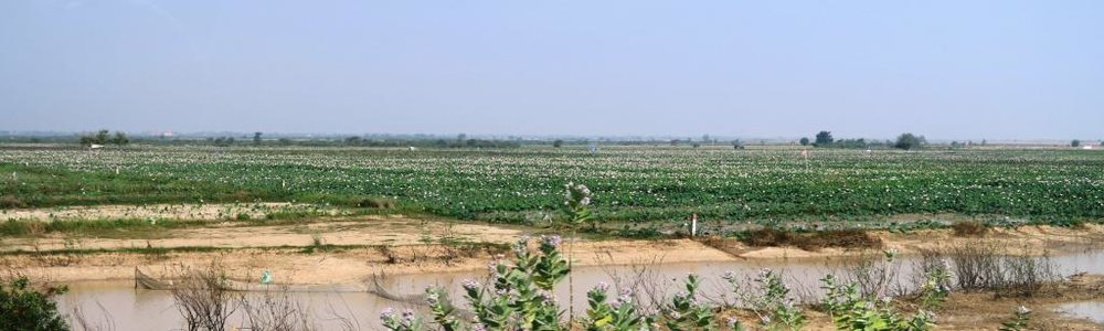lotus-fields-cambodia2.jpg