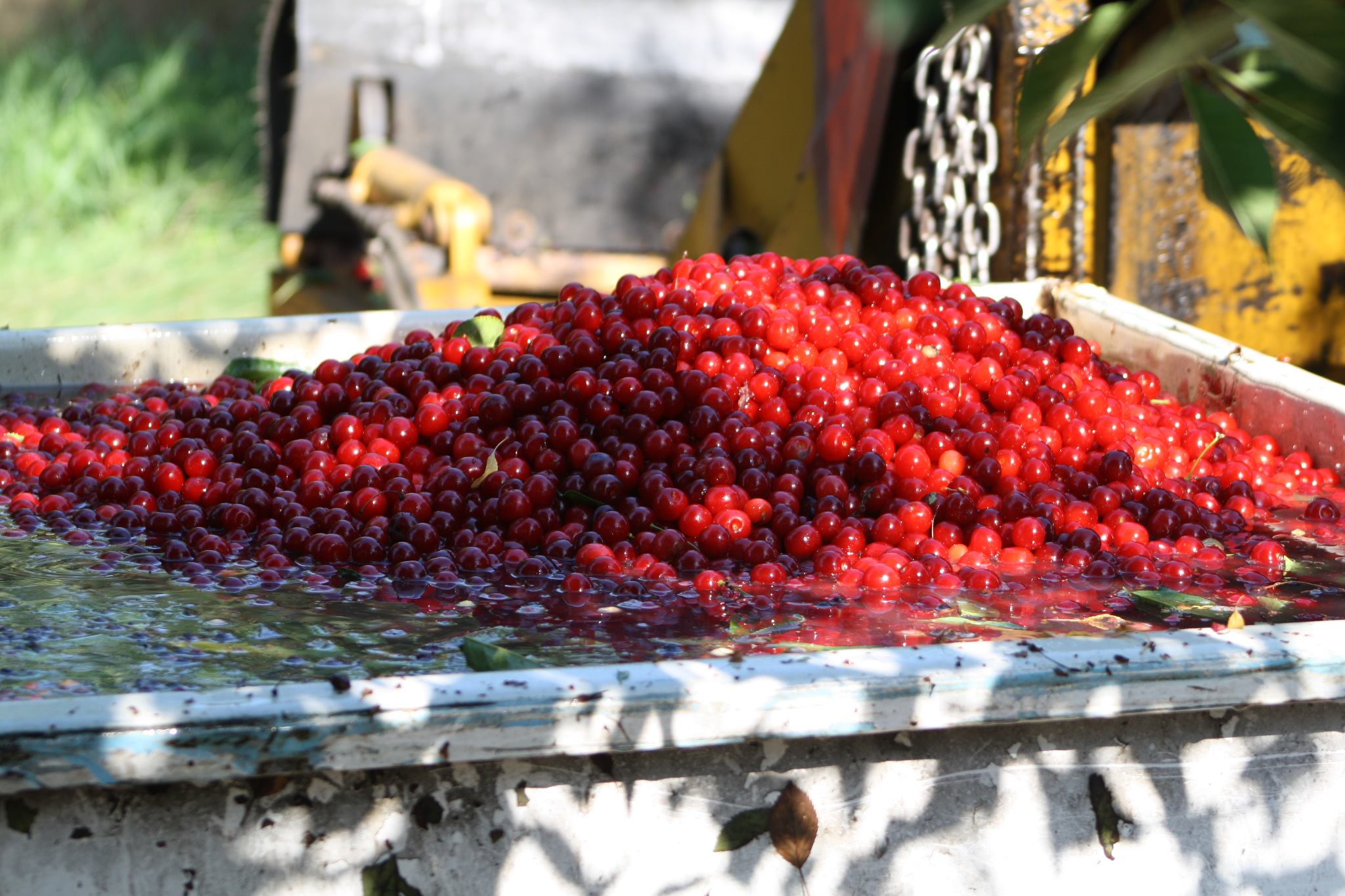 Cherries at Seaquist Orchards Farm Market