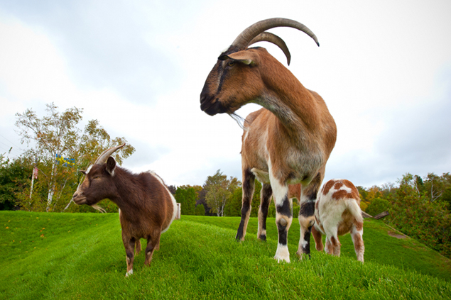 Al Johnson's Goats