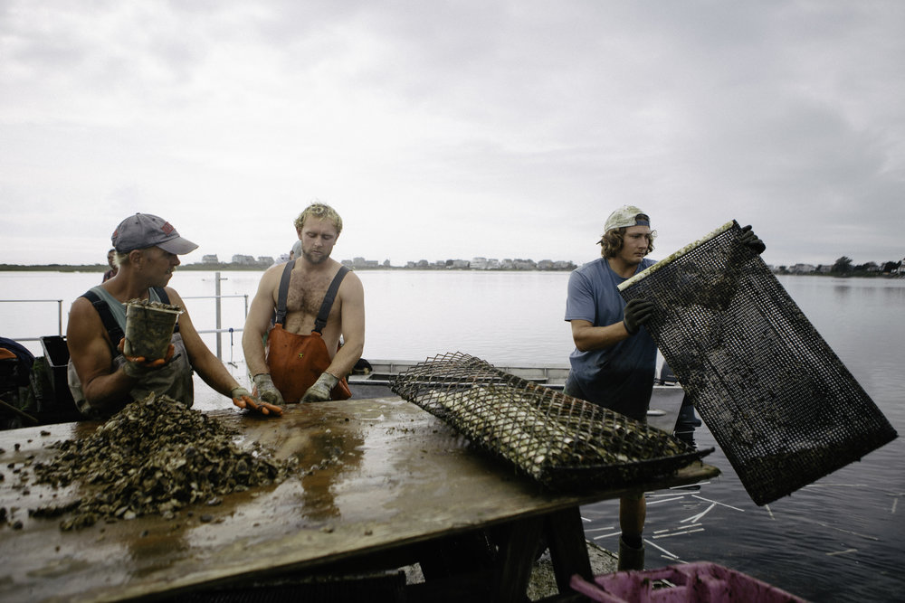 The barge crew take out six month old oysters from the cages. They redistribute them at a lower density as they get bigger. Oysters take about three years to reach market size.