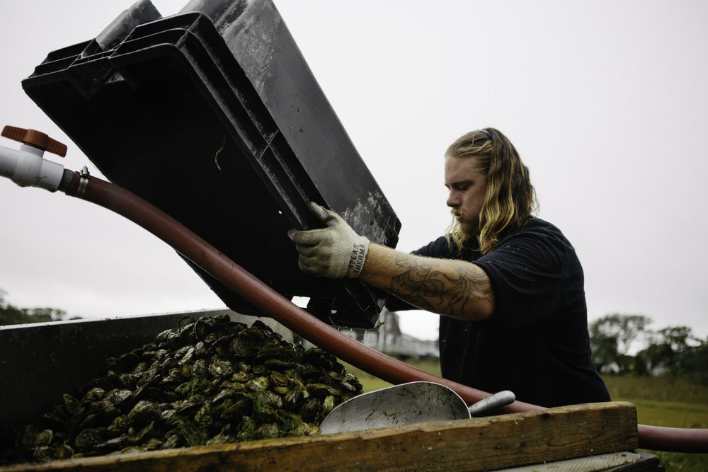 Sean loading up a batch of oysters to be sorted.