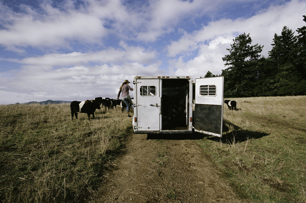 Suey unlocking the trailer gate to let out the bulls. - Jenner, CA