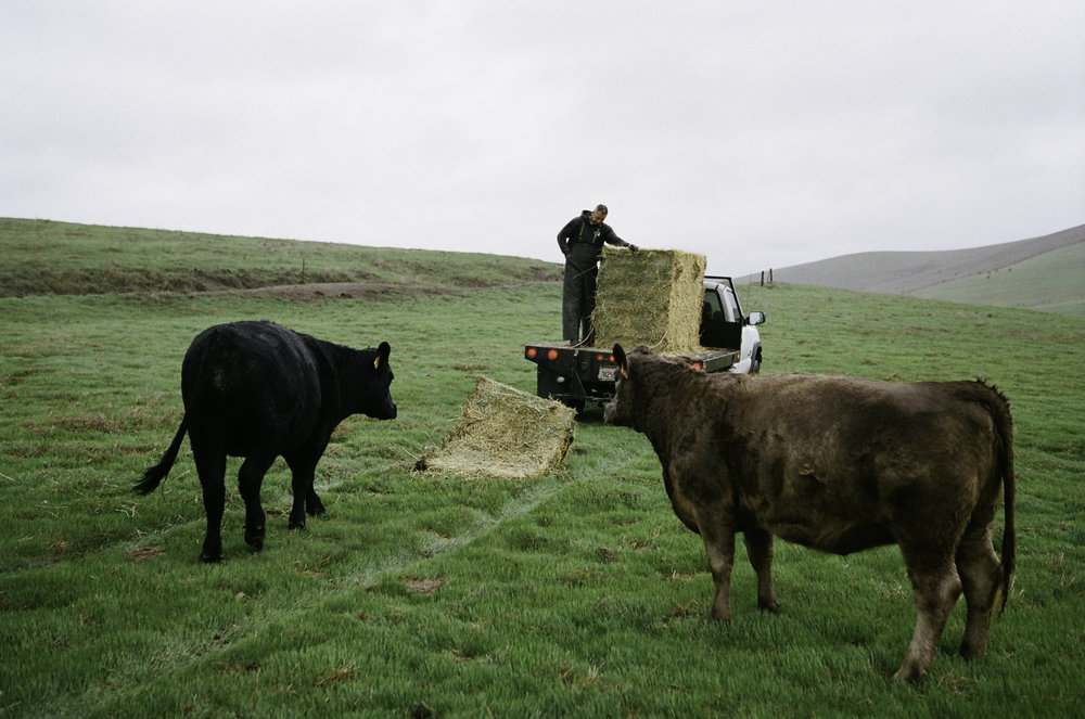 Oscar Munoz feeding hay to the cattle. It is common to supplement with alfalfa during acclimate weather as cows, like humans, burn more energy to stay warm. - Petaluma, CA