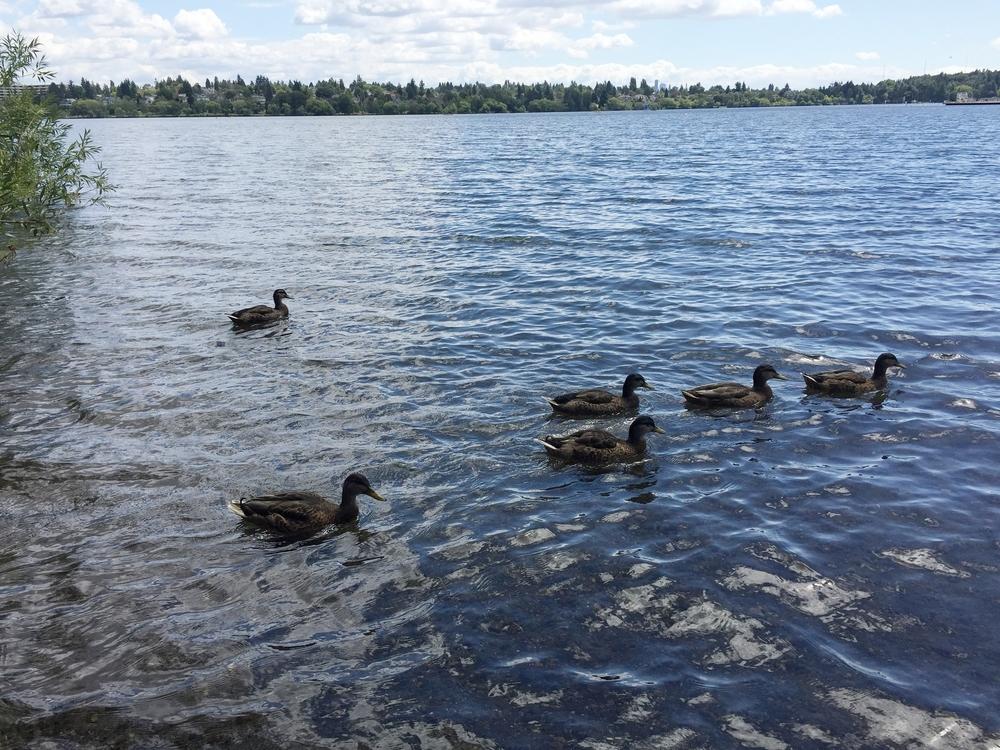 Many ducks swimming in the lake. Green Lake Park, Seattle.  Photo by Hayashi.