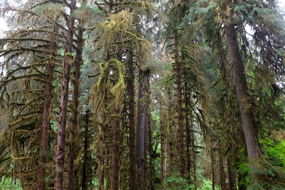 Moss covered Spruce trees, Olympic National Park.  Photo by Shishido.