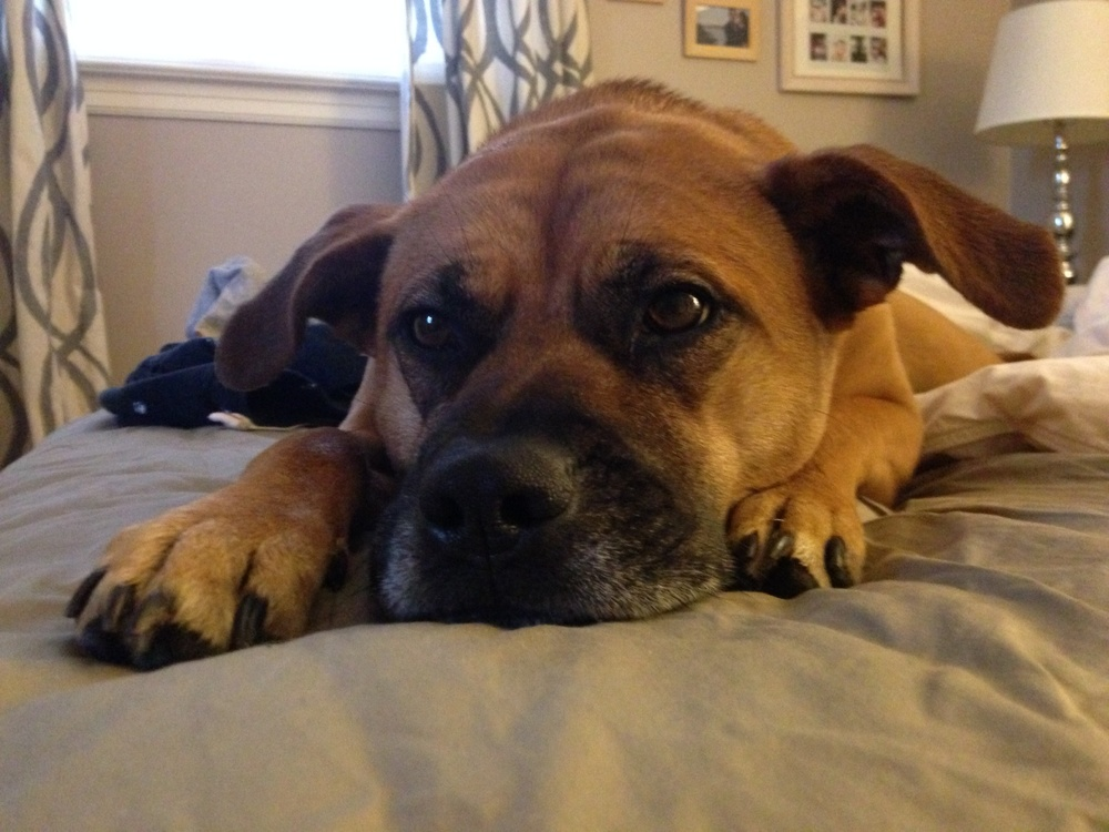 meet laila, our 3 y.o. pitbull/boxer mix. she makes any day brighter.