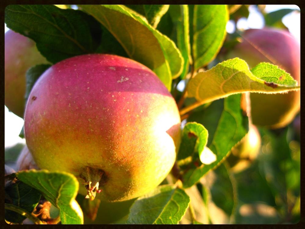 Apples-orchard.jpg