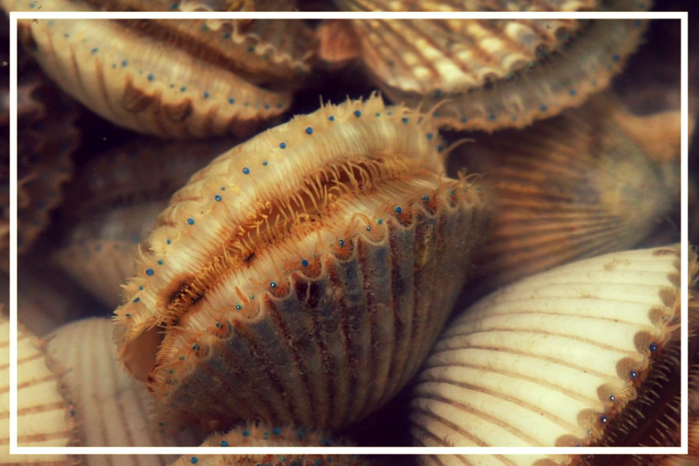 Sumertime Scalloping June 28th-September 24th