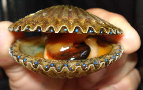 generic-adult-scallop.jpg