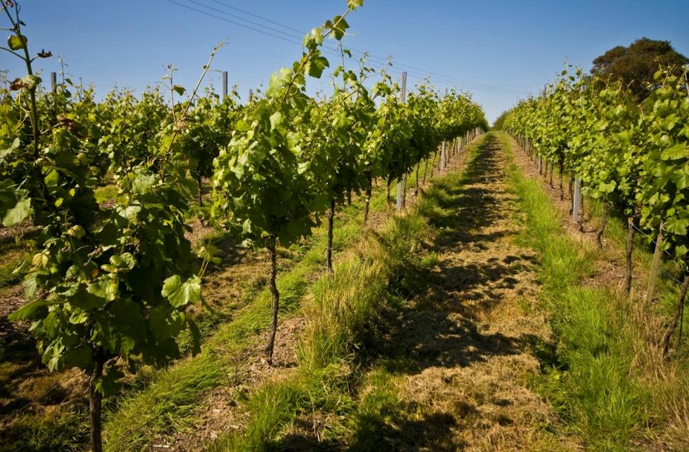 Vineyard 4.png