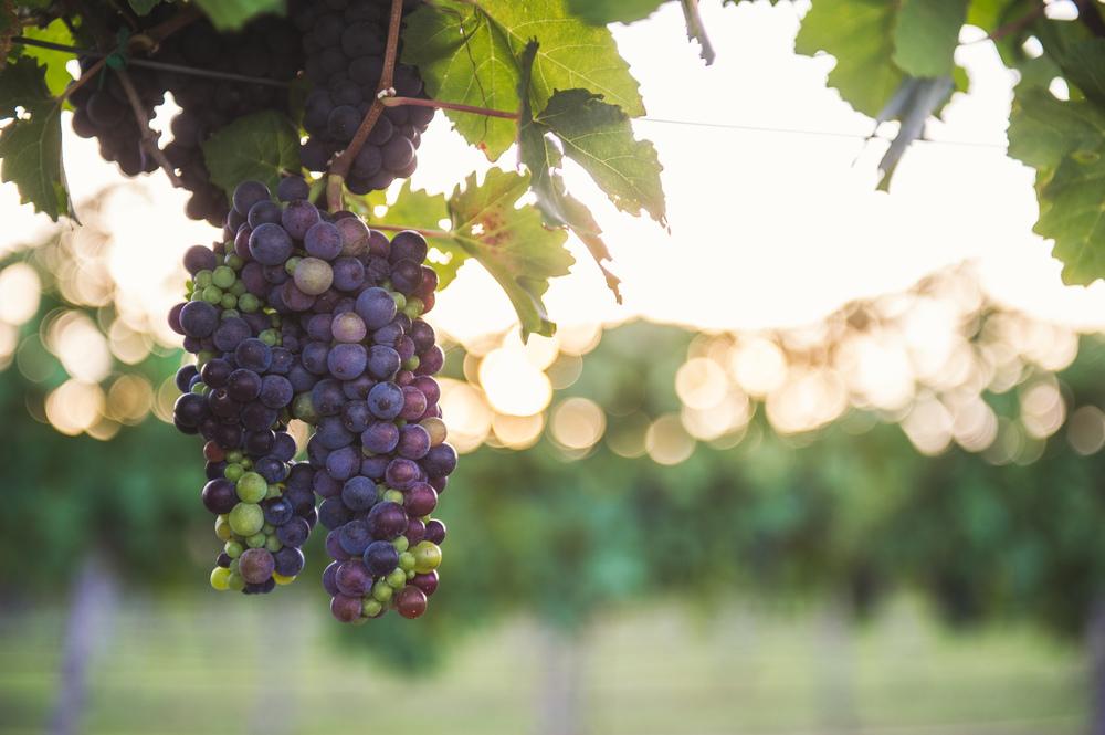 Vineyards in Fredericksburg TX Credit Blake Mistich.jpg