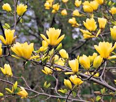 yellow magnolia.jpg