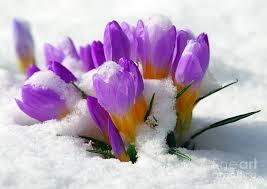 crocus in the snow.jpg