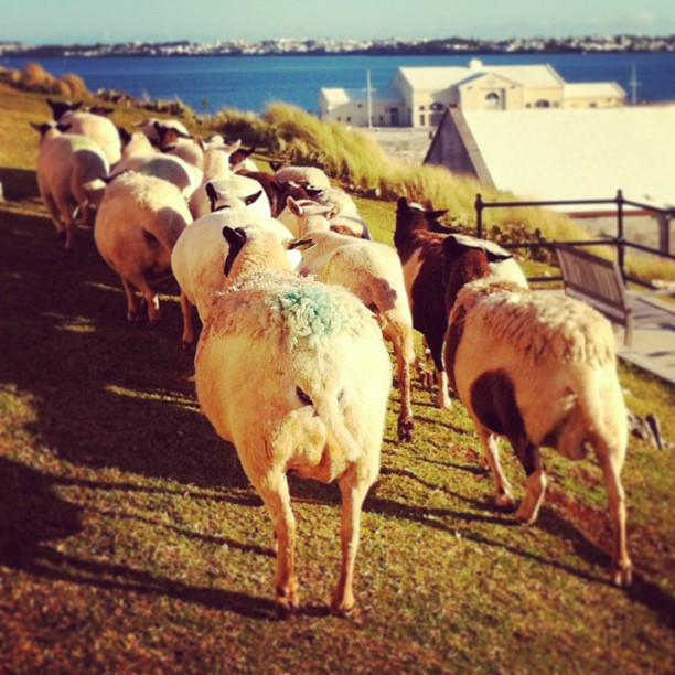 Wild sheep chase (at The Dockyard)
