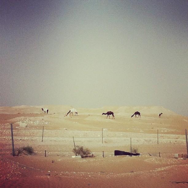 Camels in Saudi Arabia