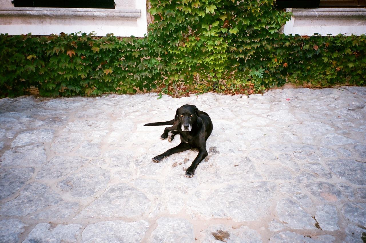 Black dog stare