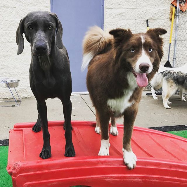 Yard time! #doggydaycare #dogsofinstgram #dogoftheday #wiemeraner #doglife #dog🐶 #dogs