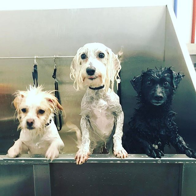 Rub a dub dub three dogs in the tub #dogs #doggydaycare #dogsofinstagram #dog