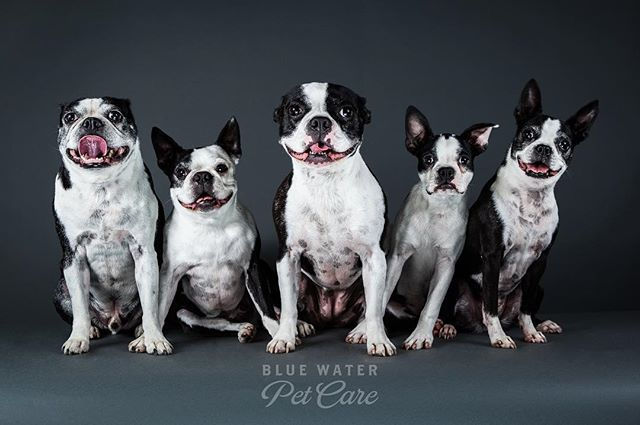Boston's love Blue Water Pet Care! #dogs #bostonterrier #doggydaycare #dogsofinstagram #instagramdogs #dog #doglife #dog #dogphotography #porthuron