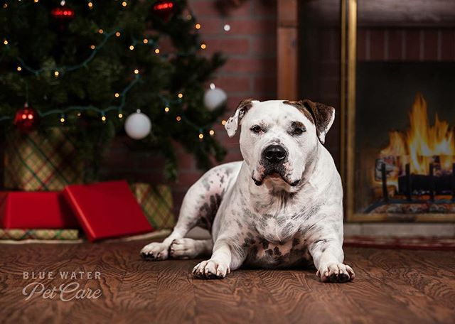 Christmas photo time! #dogsofinstagram #americanbulldog #christmas #doggydaycare #porthuron #dogphotography