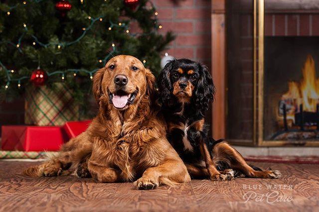 Chest nuts roasting on an open fire #dog  #dogstagram #dogsofinstaworld #dogsofinstagram #doggydaycare #dogphotography #cavaliers #goldenretriever #dogs #porthuron
