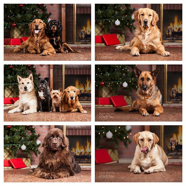 That's a wrap!!! Well over 100 Christmas photos done! #dogsofinstaworld #dogs #christmasdogs #dogphotography #dogphotoshoot #doggydaycare #porthuron #dogsofinstagram #instagramdogs #ilovedogs #adorable #doglover