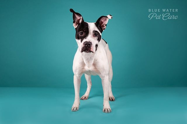 Beatrice is up for adoption! Check Furget Us Not Rescue if you're interested in her! She is a very sweet energetic pup!