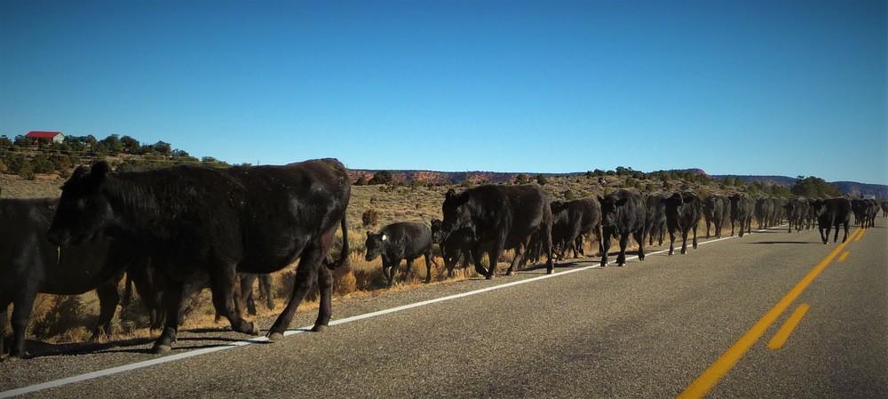 Cows or a Hybrid?