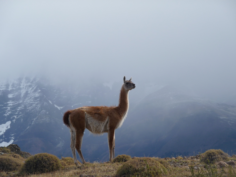 Guanaco in Chile - Jealous of my Salad