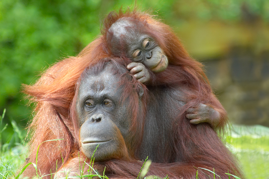 bigstock-Mother-Orangutan-With-Her-Baby-1695891.jpg
