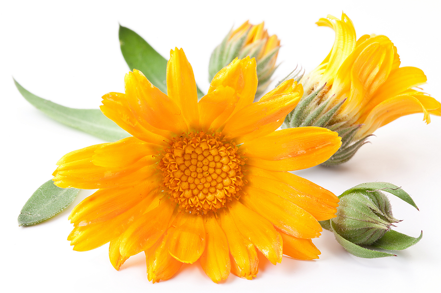 blossomeco-Calendula-flower-isolated-on-a-22123877.jpg