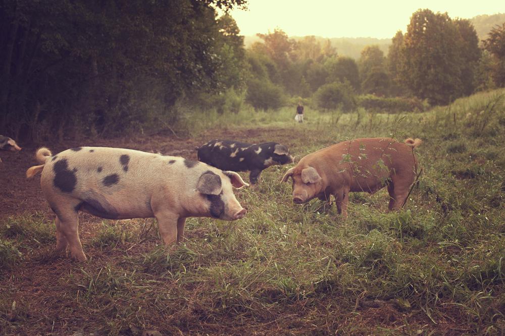 Greenbrier Pigs