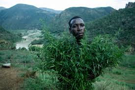 africa origins of cannabis