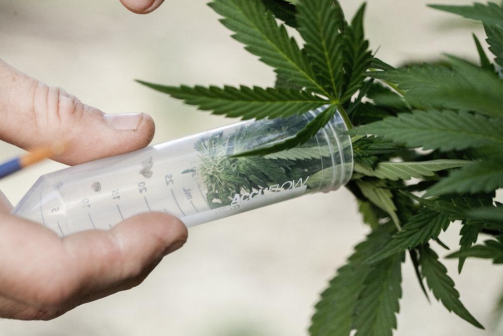 cannabis research thc pollination cbd