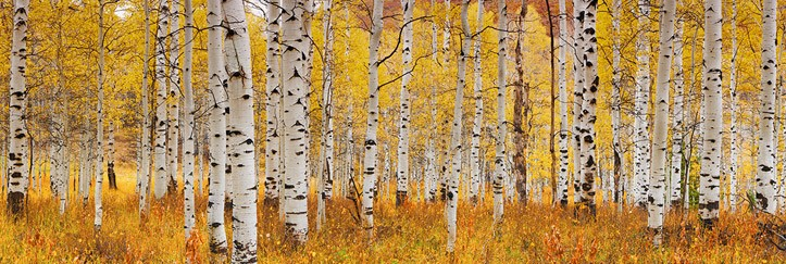 These yellows make me happy.   Aspen Glow , Courtesy of Peter Lik
