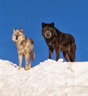 Twowolves.jpg