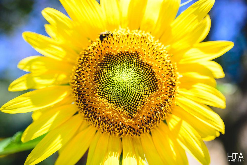 Fibonacci's Flower