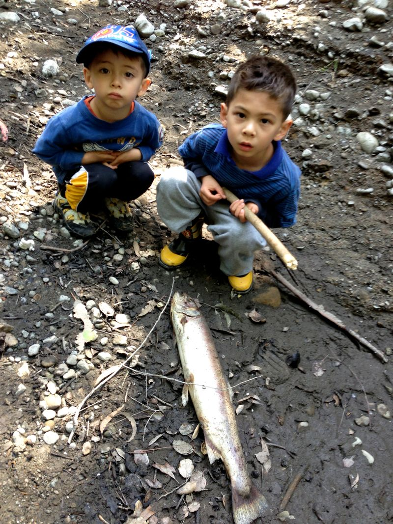 Photo courtesy of Menlo Park resident and Stanford alumnus Mike Lanza, who often explores the San Francisquito Creek with his young children. This dead adult steelhead was stranded in 2013 in a dry creek bed downstream of Stanford University's Searsville Dam and other water diversions.